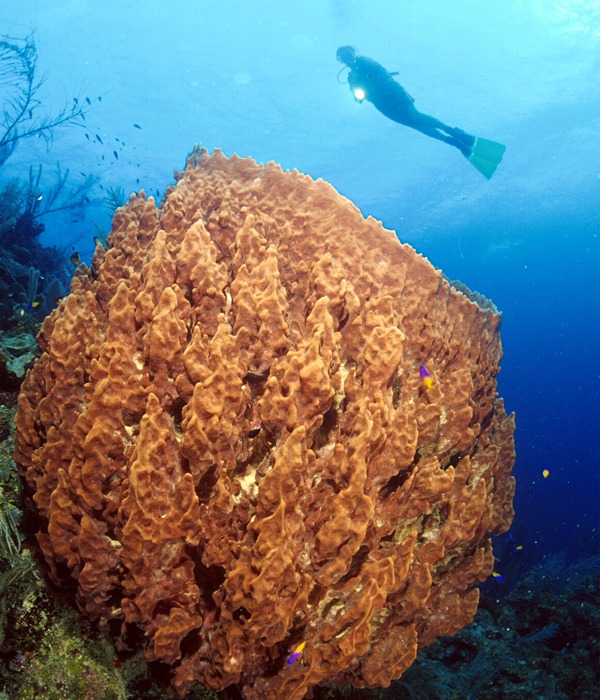 Giant sponge at Long Caye Wall