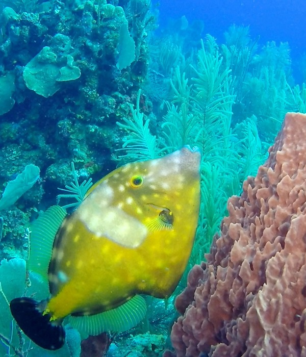 We see Orange-Spotted Filefish while both snorkeling and diving