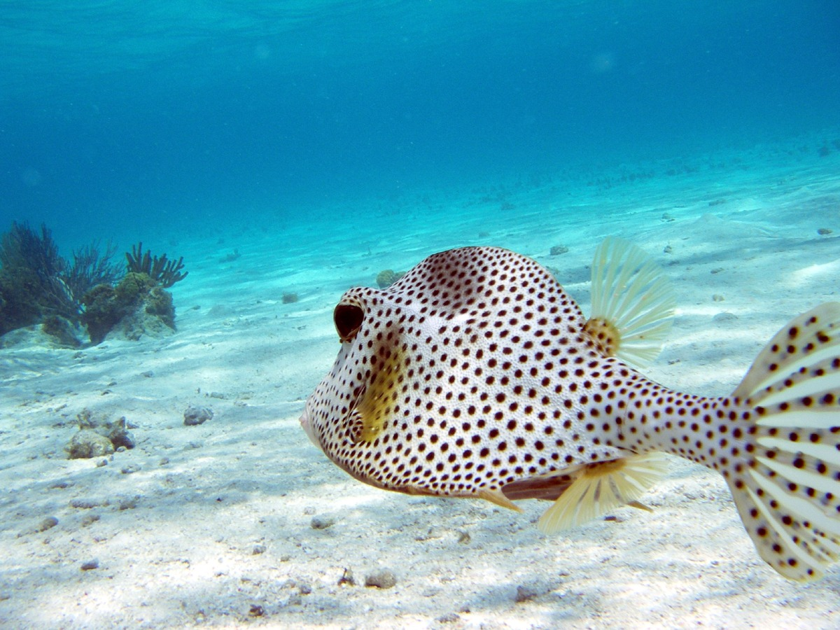 Spotted Trunk Fish, The Wall dive, Glover's Reef Belize