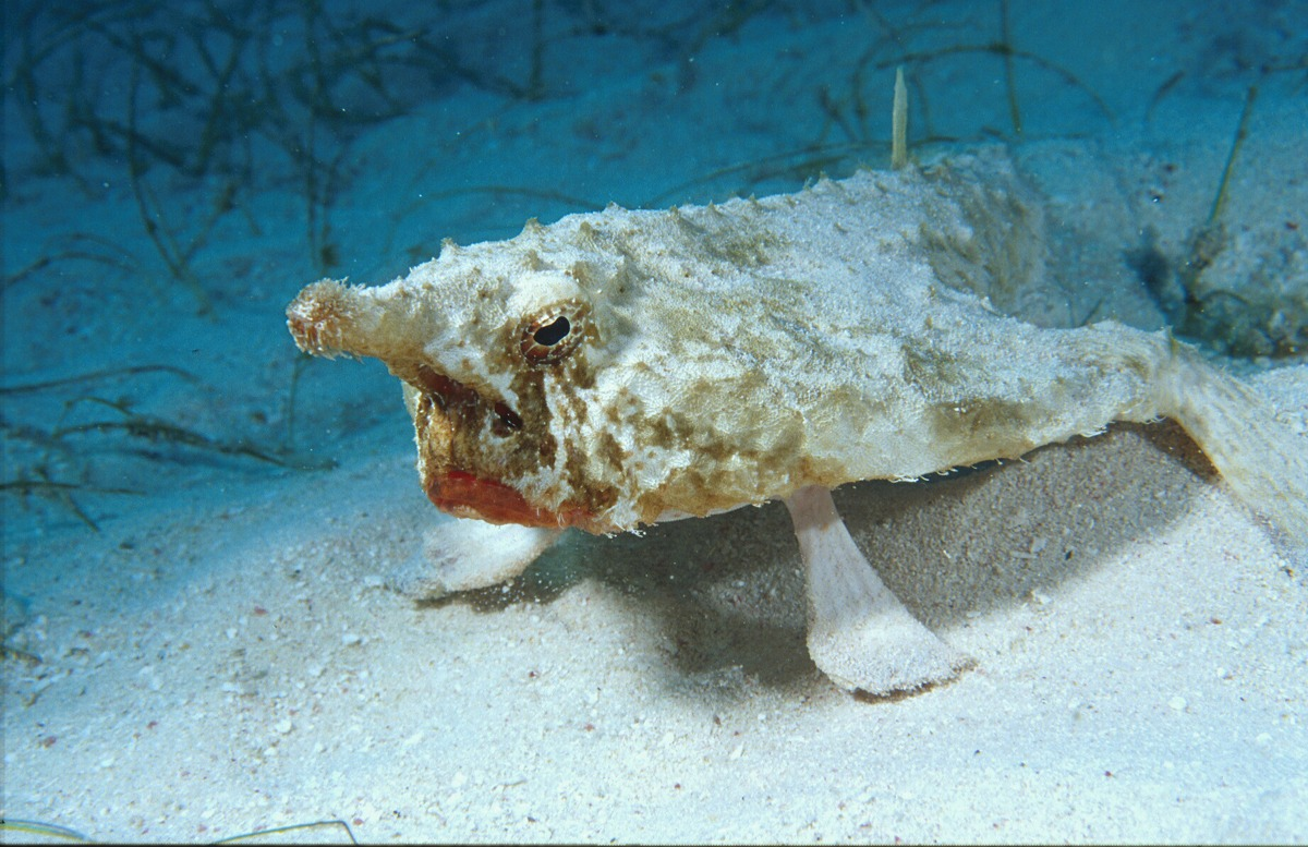 Short-nosed Batfish