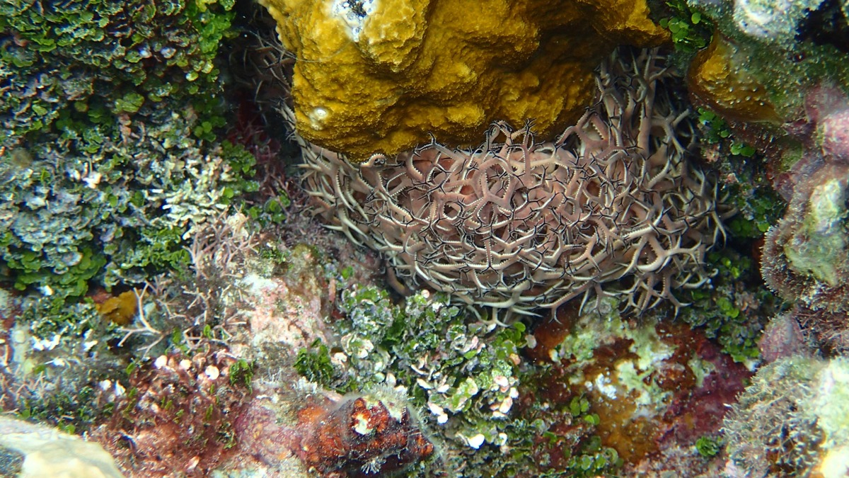 Basket Star Fish