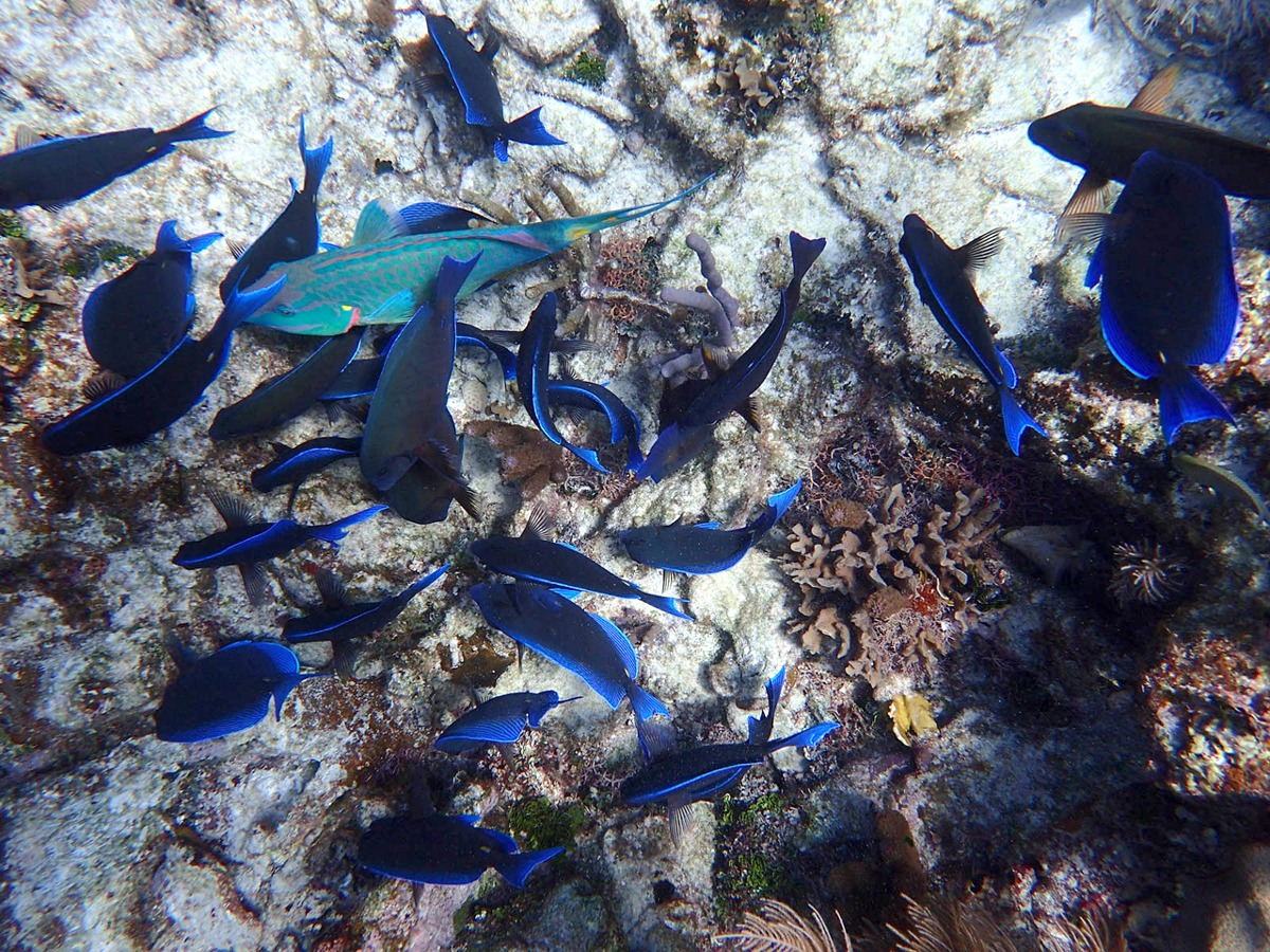 School of Blue Tang with a Queen Parrotfish