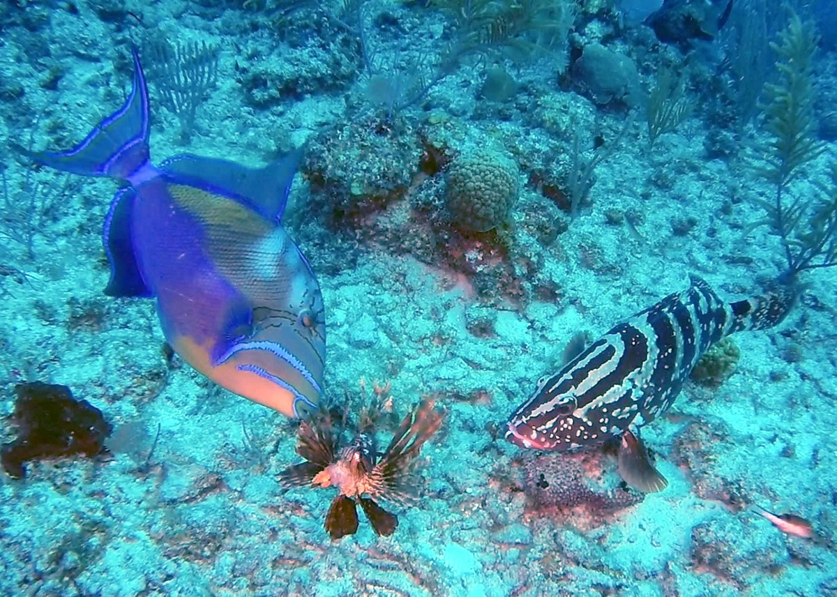 Trigger Fish and Nassau Grouper checking out a Lionfish
