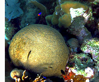 Brain coral off the coast of belize
