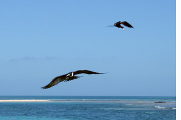 Birding in Belize, frigate birds