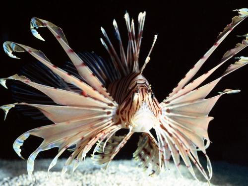 Lionfish in Belize