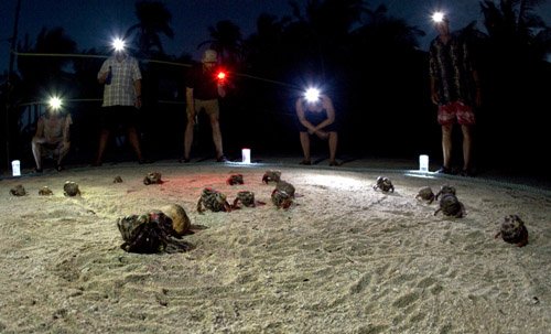 Belize hermit crab race