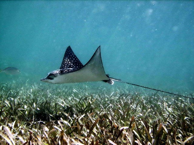 spotted_eagle_ray