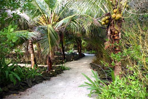 Long Caye coconuts