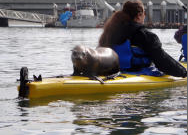sea lion on another kayak