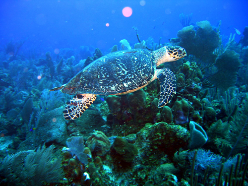 belize sea turtle