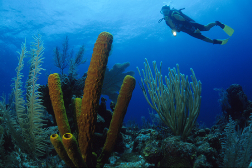 Belize coral diving