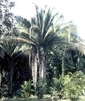 Cahune Palm - photo by D'Asign Source Botanicals
