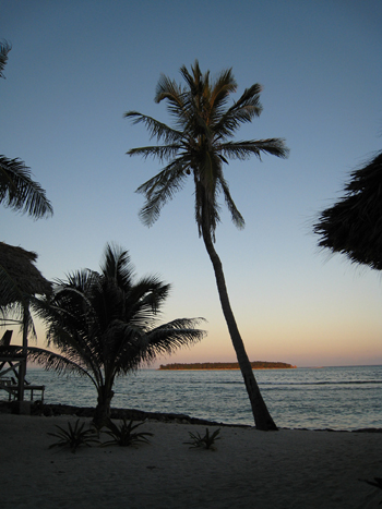 Coconut Palm on our island, Long Caye at Glover's Reef in Belize