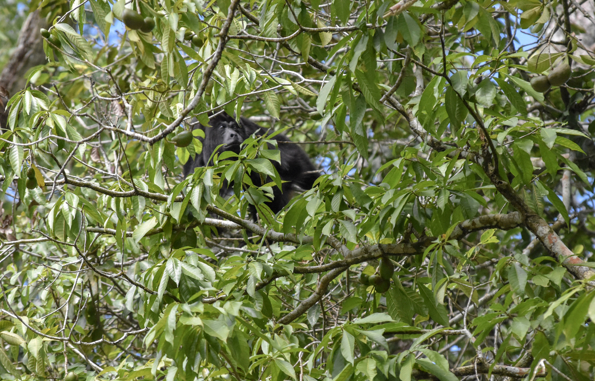 Black Howler Monkey at the Community Baboon Sanctuary